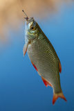 Fresh fishes rudd Royalty Free Stock Photography