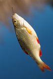 Fresh fishes rudd Stock Images