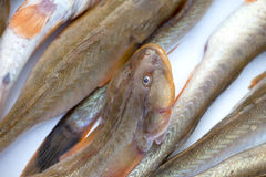 Fresh fishes for sale Royalty Free Stock Photo