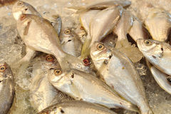 Fresh fishes in Thailand market. Royalty Free Stock Images
