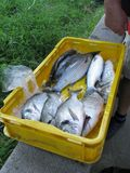 Fresh fishes in a yellow tub Stock Image