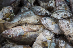 The Fresh fishs. Royalty Free Stock Images