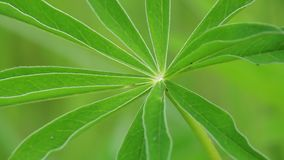 A fresh floral green leaf is swinging in the wind. Close-up. stock video