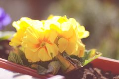 Fresh floral spring flowers in a pot outdoors stock photos