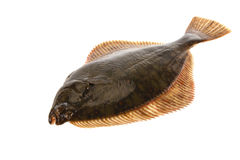 Fresh flounder. Stock Images