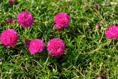 Fresh flower beautiful colorful portulaca oleracea in morning Stock Photography