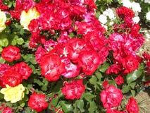 Fresh flower Royalty Free Stock Photo