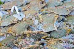 Fresh Flower crab, Blue manna crab, Sand crab, Portunus pelagicu Stock Photography