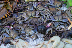 Fresh Flower crab, Blue manna crab, Sand crab, Portunus pelagicu Royalty Free Stock Photography