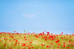 Fresh flower field Royalty Free Stock Image