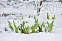 Fresh flower in a garden under snow in April Royalty Free Stock Image