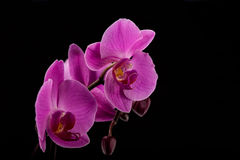 Fresh flower orchid on color background Royalty Free Stock Image