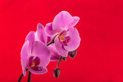 Fresh flower orchid on color background Stock Images