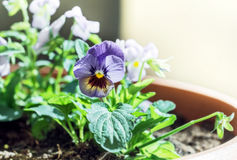 Fresh flower Pansy Royalty Free Stock Images