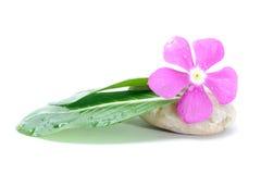 Fresh Flower on Zen Stone, Spa Concept, White Background.  royalty free stock photography