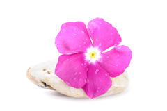 Fresh Flower on Zen Stone, Spa Concept, White Background Royalty Free Stock Images