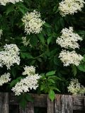 Flowering elderberry in the garden. Fresh Flowering elderberry in the garden royalty free stock photography