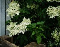 Flowering elderberry in the garden. Fresh Flowering elderberry in the garden stock images
