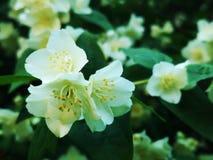 Flowering elderberry in the garden. Fresh Flowering elderberry in the garden stock image