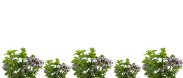 Fresh flowering herbs oregano frame Stock Image