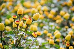 Fresh flowering para cress plant, Spilanthes oleracea. Soft focus, unfocused blurred spilanthes royalty free stock photography