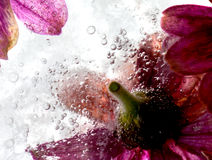 Fresh flowers. Frozen flowers in fresh water Stock Images