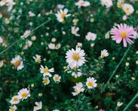 Fresh flowers autumn perennial asters, summer multicolored flower pattern with shallow depth of focus. stock photo