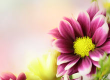 Fresh flowers. Beautiful pink, purple and yellow flowers with a blurred pastel background. Horizontal area for text Royalty Free Stock Image