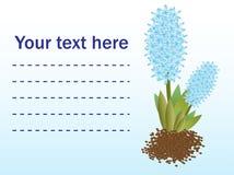 Fresh flowers blue hyacinths. Greetings card Stock Photos