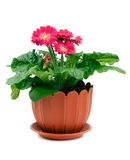 Fresh flowers in a brown pot gerbera Stock Photo