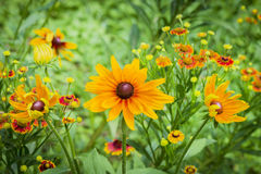 Fresh flowers coneflower in garden Royalty Free Stock Image