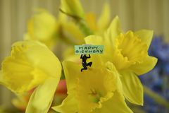 Fresh flowers of daffodils with words or text for happy birthday. Beautiful flowers of bright yellow daffodils and red tulips with background blue hyacinths royalty free stock photo