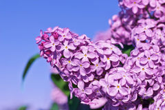 Fresh flowers lilac Royalty Free Stock Photography