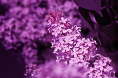 Fresh flowers lilac. Royalty Free Stock Photo