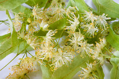Fresh flowers of linden tree Stock Images