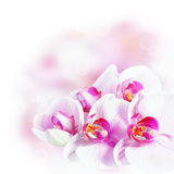 Fresh orchids Stock Image