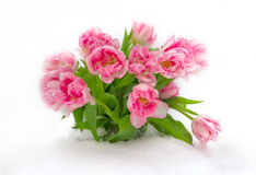 Fresh flowers in the snow, isolated Royalty Free Stock Image