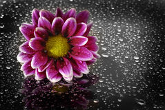 Fresh Flowers with Water Drops Stock Photography