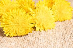 Fresh flowers of yellow dandelions. Dandelions close up, focus on the flowers in front royalty free stock photography