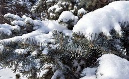 Fresh fluffy snow on fir branches in Sunny winter morning Royalty Free Stock Photography