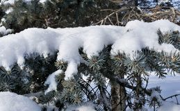 Fresh fluffy snow on fir branches in Sunny winter morning Royalty Free Stock Image