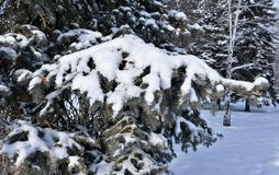 Fresh fluffy snow on fir branches in Sunny winter morning Royalty Free Stock Photo