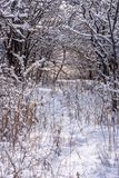 Fresh snow on tree branches in forest. Fresh fluffy snow on tree branch in morning light Stock Photography