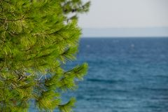 Fresh foliage of pine cone tree and clear blue sky and sea water in background.  royalty free stock photo