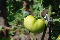 Vegetable in the garden. Fresh food: Unripe tomato stock images