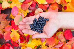Fresh forest blueberries in hand fall leaves wooden background autumn Stock Photography