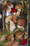 Fresh mushroom boletus. Fresh forest mushroom boletus on the background of autumn leaves Royalty Free Stock Photos