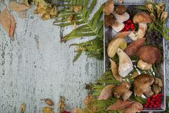 Fresh mushroom boletus. Fresh forest mushroom boletus on the background of autumn leaves Stock Photography