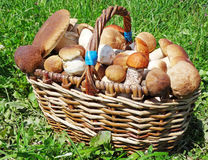Fresh forest mushrooms in the basket Royalty Free Stock Image