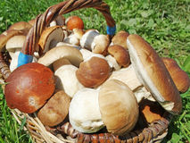 Fresh forest mushrooms in the basket Royalty Free Stock Images